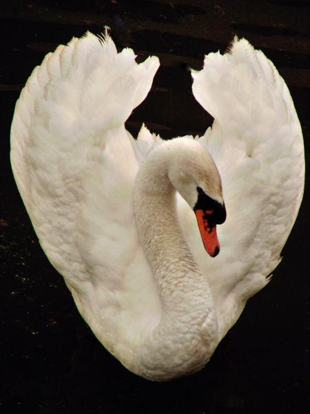 450px-White_Swan_dsc01208-nevit[1]
