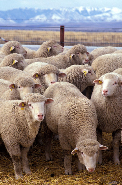 640px-Flock_of_sheep