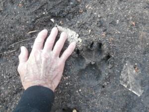 mcintyre ghost town coyote print
